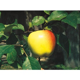 3.25-Gallon Dorsett Golden Apple Tree (L1294)