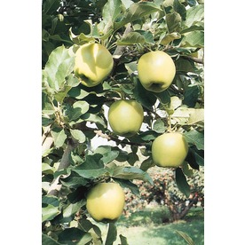  3.25-Gallon Ein Shemer Apple (L1176)