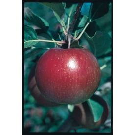 3.25-Gallon Fuji Apple (L10470)