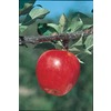 3.25-Gallon Gala Apple Tree (L4520)
