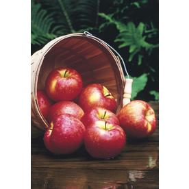 3.25-Gallon Red Delicious Dwarf Apple (L1320)
