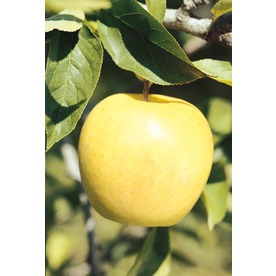 3.25-Gallon Golden Delicious Apple Tree (L1178)