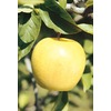 3.25-Gallon Golden Delicious Apple (L1178)