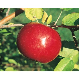 3.25-Gallon McIntosh Apple (L1305)