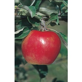 3.25-Gallon Winesap Apple Tree (L1270)