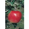3.25-Gallon Winesap Apple (L1270)