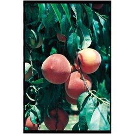 3.25-Gallon Early Elberta Peach (L1331)