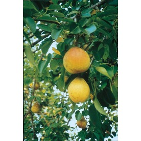  3.25-Gallon Flordahome Pear (L4895)