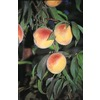 3.25-Gallon Flordaking Peach Tree (L8662)