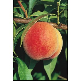 3.25-Gallon Flordaqueen Peach (L1313)