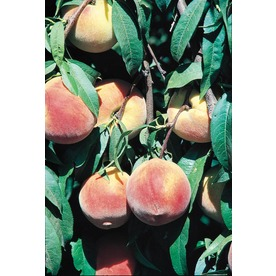 3.25-Gallon Flordawon Peach Dwarf Tree Tree (L4878)