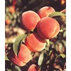 3.25-Gallon June Gold Peach (L3645)