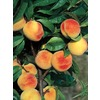  3.25-Gallon La Feliciana Peach (L1337)