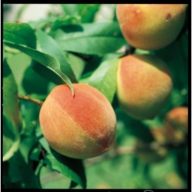 3.25-Gallon Sam Houston Peach (L1273)