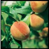 3.25-Gallon Sam Houston Peach Tree (L1273)