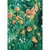  3.25-Gallon Suwannee Peach (LFT018)