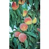 3.25-Gallon Flordaprince Peach (L9375)