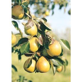 3.25-Gallon Bartlett Pear Tree (L1386)