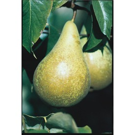 3.25-Gallon Flordahome Pear (L1317)