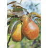  3.25-Gallon Hood Pear (L4905)