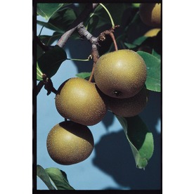3.25-Gallon Moonglow Pear (L1395)