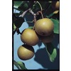 3.25-Gallon Moonglow Pear Tree (L1395)