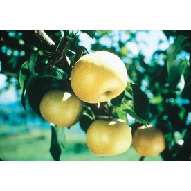  3.25-Gallon Orient Pear (L1343)