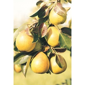 3.25-Gallon Pineapple Pear Dwarf Tree Tree (L4883)