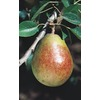  3.25-Gallon Sugar (Seckel) Pear (L4932)