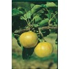  3.25-Gallon 20Th Century Asian Pear (L1288)