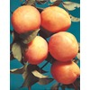 3.25-Gallon Early Golden Apricot (L1310)