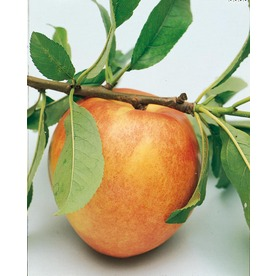  3.25-Gallon Golden Prolific Nectarine (L6143)