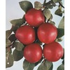 3.25-Gallon Burbank Plum Tree (L1308)