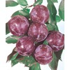 3.25-Gallon Blue Damson Plum (L4565)