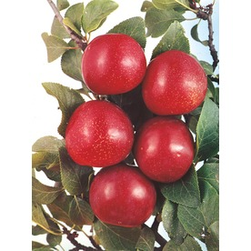 3.25-Gallon Excelsor Plum Tree (L8476)