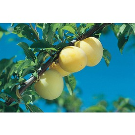 3.25-Gallon Gold Dwarf Plum Tree (L4879)
