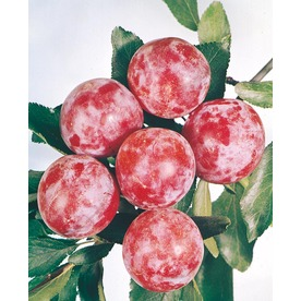 3.25-Gallon Santa Rosa Plum Tree (L1279)