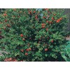 3.25-Gallon Red Dwarf Pomegranate (L5944)