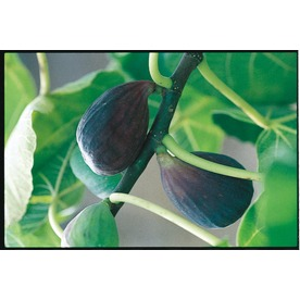 3.25-Gallon Black Mission Fig Tree (L1323)