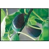  3.25-Gallon Black Mission Fig (L1323)
