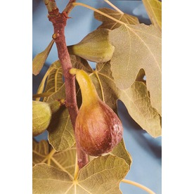 3.25-Gallon Brown Turkey Fig Tree (L3491)
