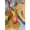 3.25-Gallon Brown Turkey Fig (L3491)