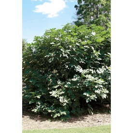  1-Gallon Fig (L5982)
