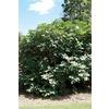 1-Gallon Fig Small Plant (L5982)