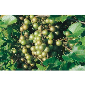 Gallon Muscadine Grape (L9519)