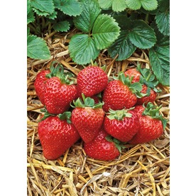 1-Gallon Strawberry Small Fruit (L00574)