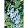 1-Gallon Highbush Blueberry Small Fruit (L11096)