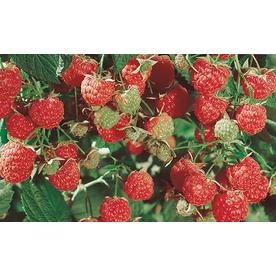  2.5-Quart Raspberry (L5813)