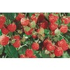 1.5-Gallon Raspberry Small Plant (L5813)