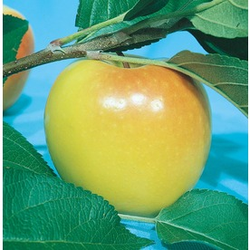 3.25-Gallon Anna Semi-Dwarf Apple (L3588)